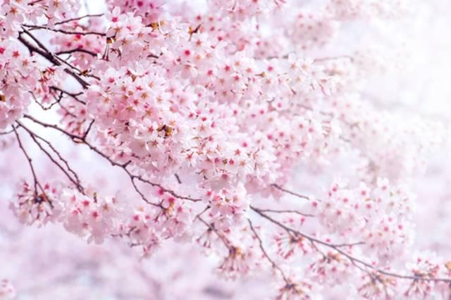 【東京】櫻花景點及週圍的餐廳