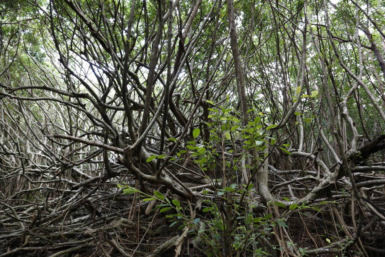 小笠原的森林。
