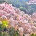 奈良、和歌山櫻花滿開前先探路!關西賞櫻景點有橋有鹿有湖超好拍|Cue日本 ~讓你的生活變得更有意義~