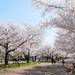 經典還是秘境?大阪賞櫻景點清單告訴你哪裡看櫻花最美|Cue日本 ~讓你的生活變得更有意義~