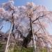 東北追櫻好享受 青森、岩手、福島等櫻花看不完!