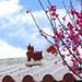 台灣櫻花衝第一!冬天到沖繩賞櫻不怕沒花看【暢遊日本APP】