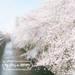 電車迷私房景點JR東中野站 神田川唯美櫻花佐電車美景一次滿足