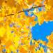 【京都秋日賞楓私房景點 】遠離遊客區 到寶林寺欣賞巨型銀杏樹吧!|Cue日本 ~讓你的生活變得更有意義~