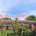 行家才知道的愛知名古屋紫藤花景點「曼陀羅寺」 順遊織田信長小牧山城、犬山城