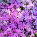 走進粉紅色的花花世界 兵庫縣芝櫻公園