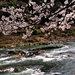 景色絕美!京都‧龜岡~嵐山的名物觀光船、保津川下行營運開始~