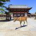 到奈良找小鹿班比 參觀東大寺