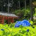 京都的早上行程 梅雨季去寺院看紫陽花