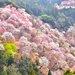 奈良、和歌山櫻花滿開前先探路!關西賞櫻景點有橋有鹿有湖超好拍