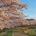 【京都】櫻花季系列2~龜岡運動公園夜櫻 賞櫻不用人擠人