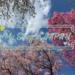 【我的日本生活物語】東京春天就是要賞櫻 不用花門票錢也能輕鬆欣賞盛開櫻花