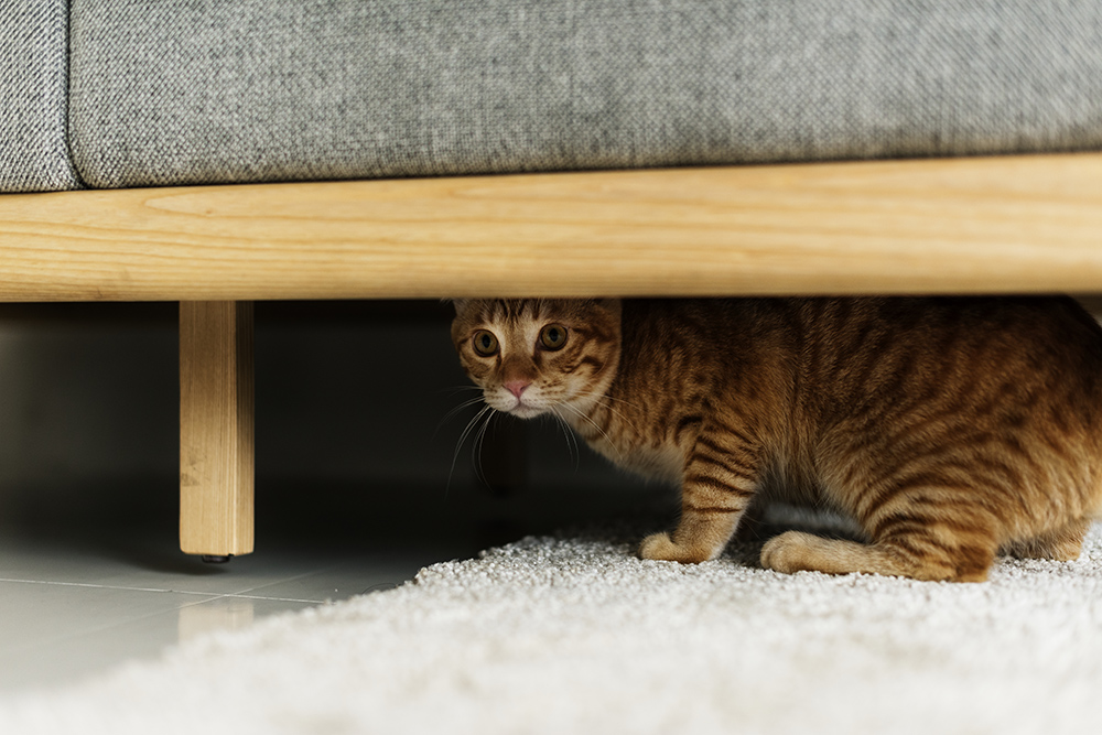 cat_hiding_under_the_couch.jpg