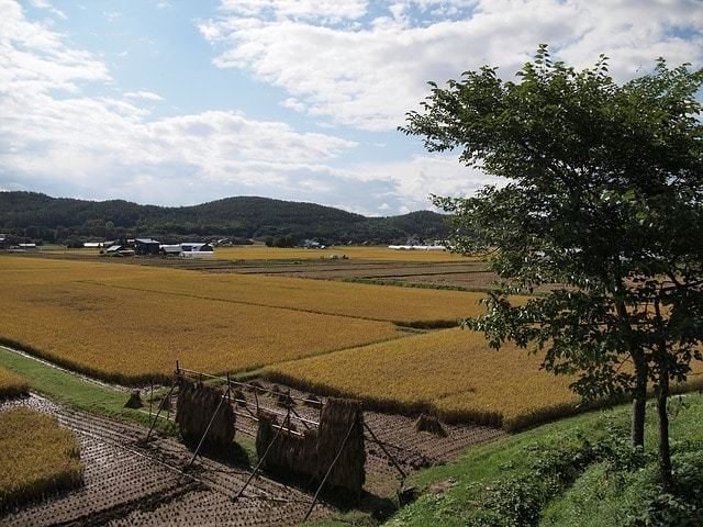 Free photo: Yamada'S Rice Fields, Ear Of Rice - Free Image on Pixabay - 978738 (791)