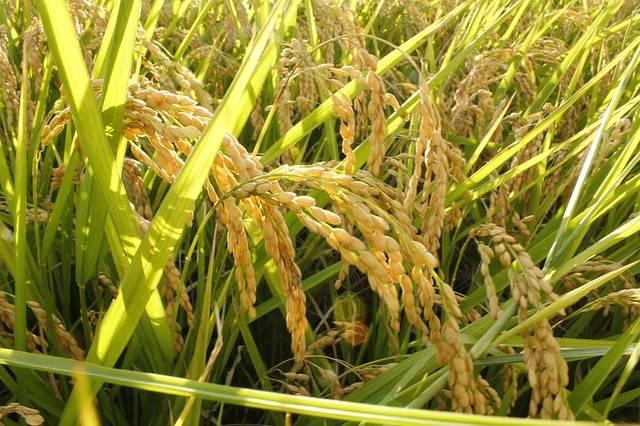 Free photo: Rice, Ppt Backgrounds - Free Image on Pixabay - 2094253 (2891)