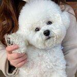 韓国スターも熱狂するほど大人気の犬種''ビションフリーゼ''に癒されよう♡ʾʾ