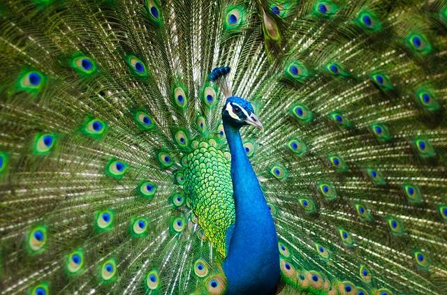 Peacock Bird Feather · Free photo on Pixabay (503)