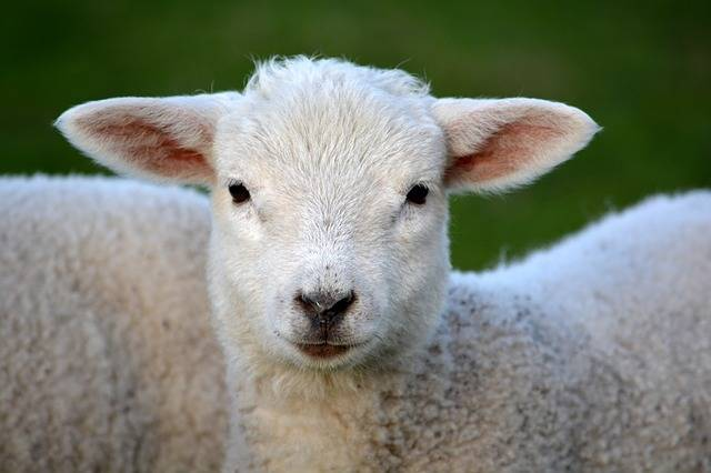 Lamb Livestock Animal · Free photo on Pixabay (618)