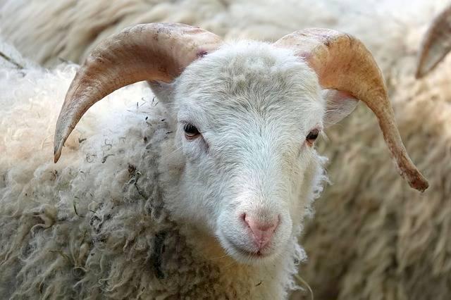 Sheepshead Sheep Wool Close · Free photo on Pixabay (204)