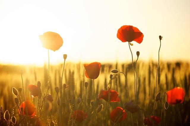 Sunset Poppy Backlight · Free photo on Pixabay (215)