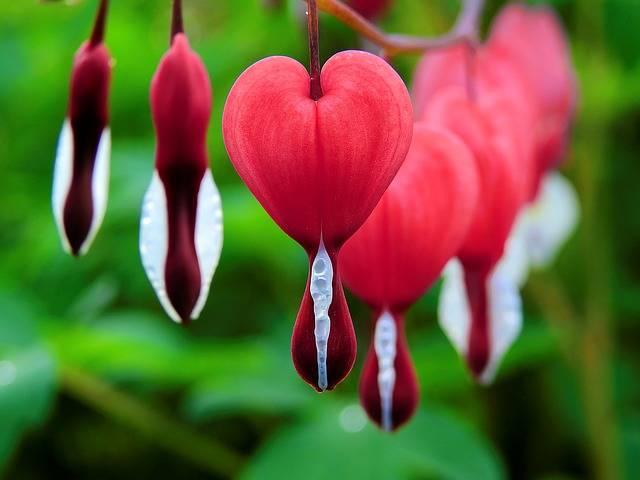 Blossom Bloom Bleeding Heart · Free photo on Pixabay (552)