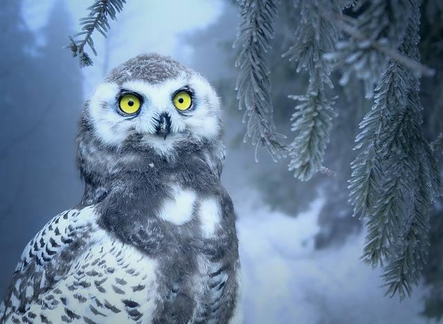 Owl Snow · Free photo on Pixabay (635)
