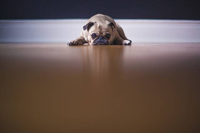 Pug Dog Puppy · Free photo on Pixabay (740)
