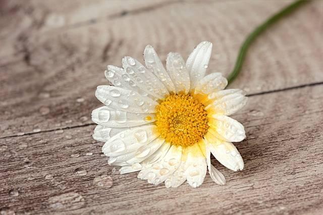 Still Life Flower Marguerite · Free photo on Pixabay (1156)