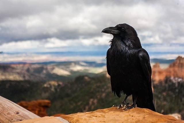 Crow Raven Bird · Free photo on Pixabay (1496)