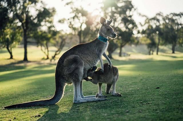 Australia Kangaroo Outback · Free photo on Pixabay (1612)