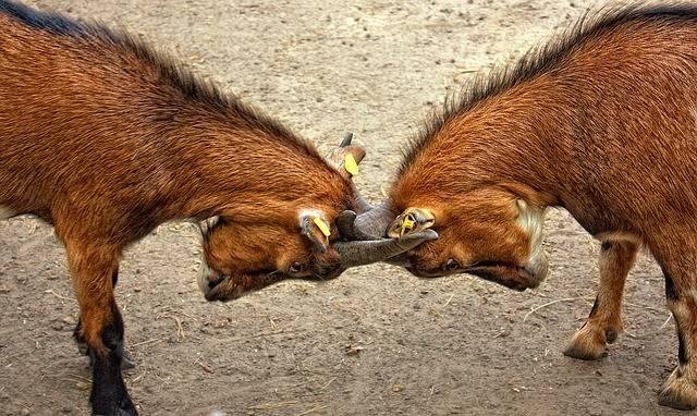 Goats Animal Bock Billy - Free photo on Pixabay (2259)