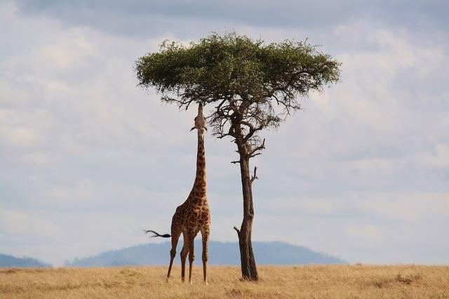 Giraffe Kenya Africa - Free photo on Pixabay (2492)