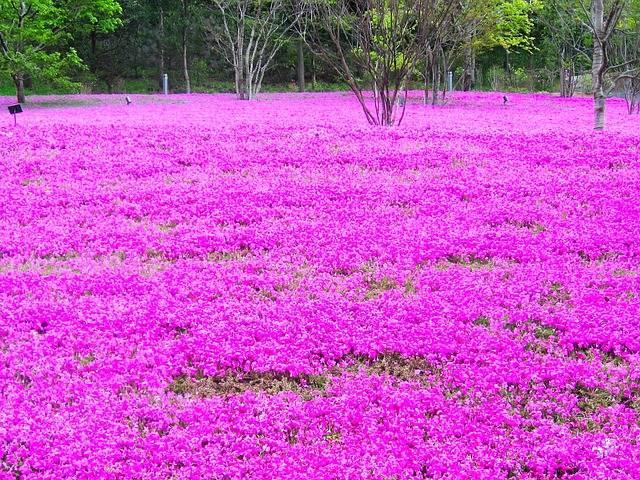 親子で行こう!芝桜が楽しめるおススメスポット~関東版~