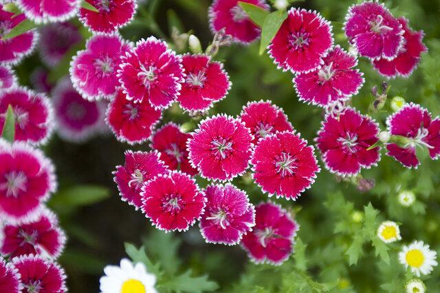 秋の七草にはどんな種類があるの?名前や花言葉を覚えて子どもと一緒に季節の草花を楽しもう!
