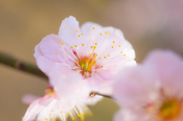 梅の花|フリー写真素材・無料ダウンロード-ぱくたそ (20262)