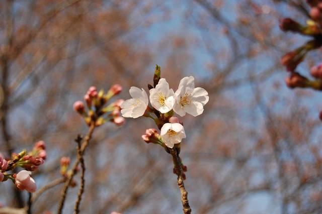 Free photo: Cherry Blossoms, Blue Sky, Sunny - Free Image on Pixabay - 1195387 (33725)