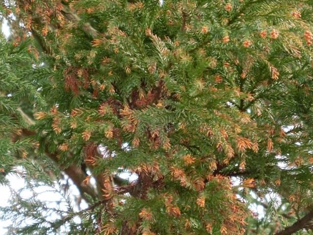「スギ 花粉」に関する写真|写真素材なら「写真AC」無料(フリー)ダウンロードOK (98725)