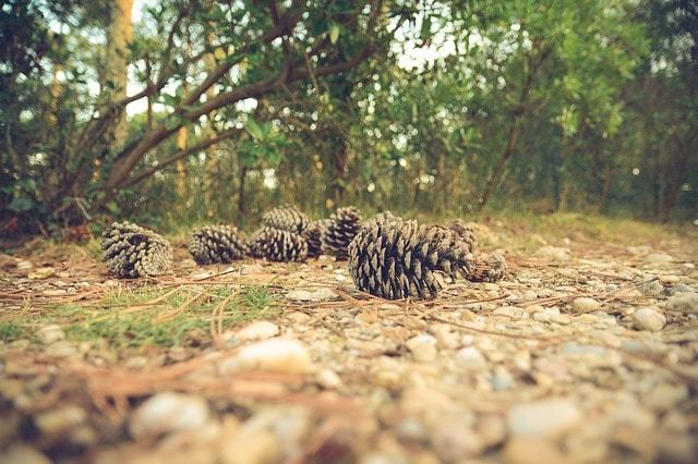 Free photo: Pine Cones, Ground, Forest, Trees - Free Image on Pixabay - 1031211 (1514)