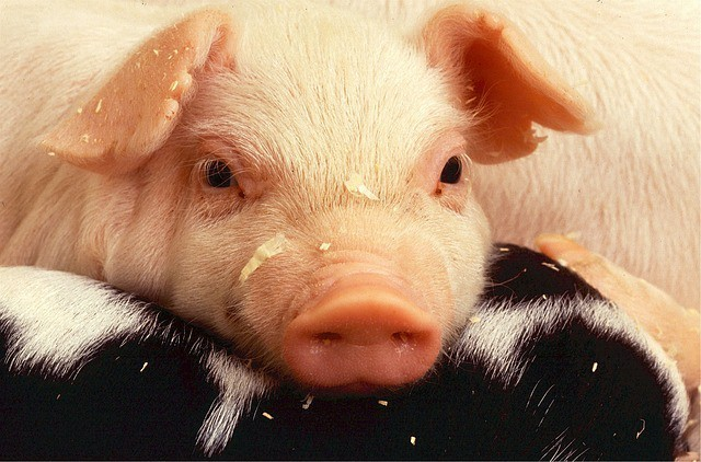 Free photo: Piglet, Pork, Pig, Farm - Free Image on Pixabay - 520883 (8525)