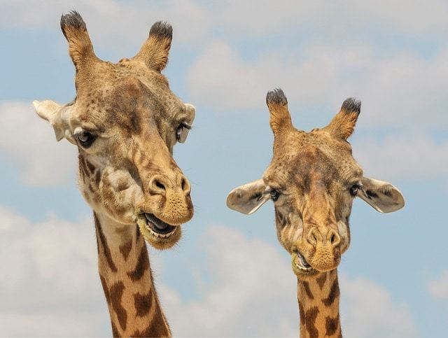 Free photo: Giraffe, Animals, Zoo, Funny, Fauna - Free Image on Pixabay - 901009 (11747)
