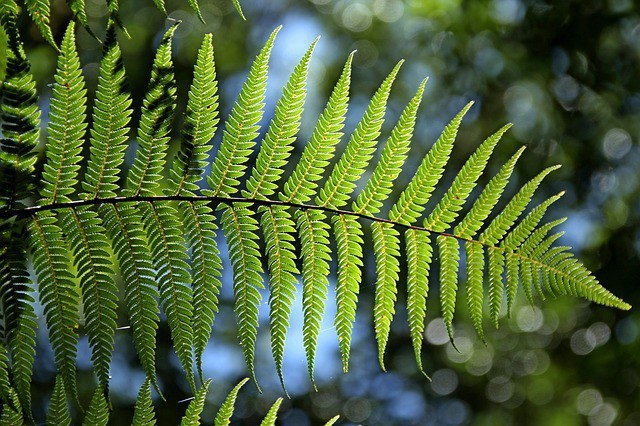 Free photo: Green, Fern, Leaf, Natural - Free Image on Pixabay - 715535 (11868)