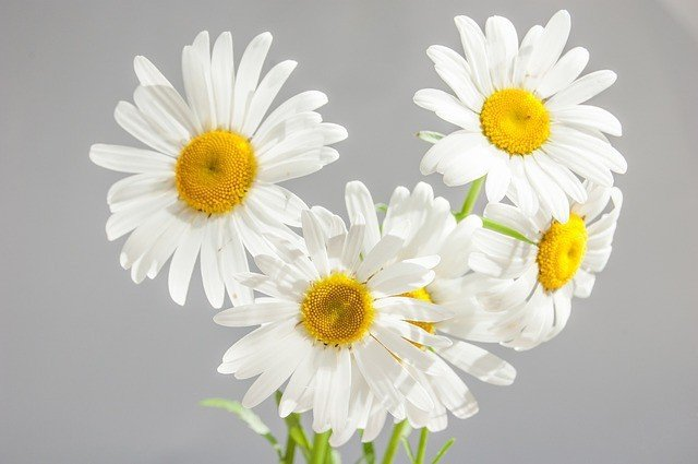 Free photo: Chamomile, Flowers, Bloom - Free Image on Pixabay - 685582 (12653)