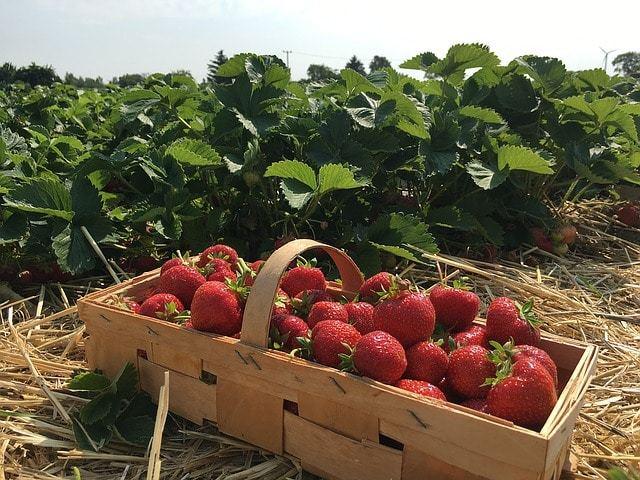Free photo: Strawberries, Straw, Berries - Free Image on Pixabay - 1482237 (13539)