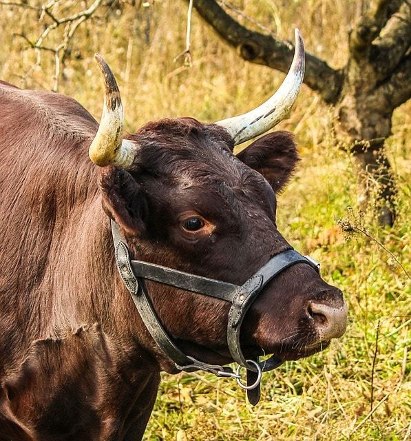 Free photo: Cow, Milch, Harness, Bovine - Free Image on Pixabay - 201829 (14998)