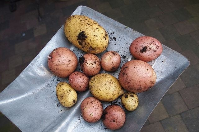 Free photo: Potatoes, Types, Gardening, Harvest - Free Image on Pixabay - 913188 (15692)