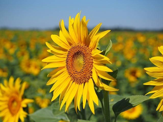 Free photo: Sun Flower, Inflorescence - Free Image on Pixabay - 1521864 (21566)
