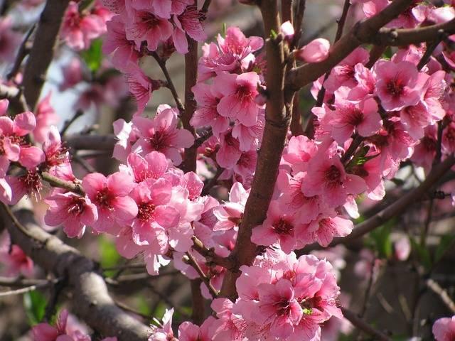 Free photo: Flower Peach, Pink Flower, Peach - Free Image on Pixabay - 1790231 (29491)