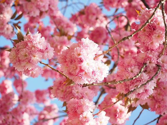 Free photo: Cherry Blossom, Japanese Cherry - Free Image on Pixabay - 1260646 (36584)