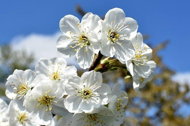 Free photo: Cherries, Flowers, Closeup, White - Free Image on Pixabay - 1363318 (40303)
