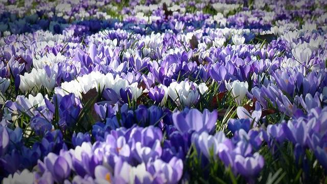 Free photo: Crocus, Garden, Flowers - Free Image on Pixabay - 1261310 (44004)